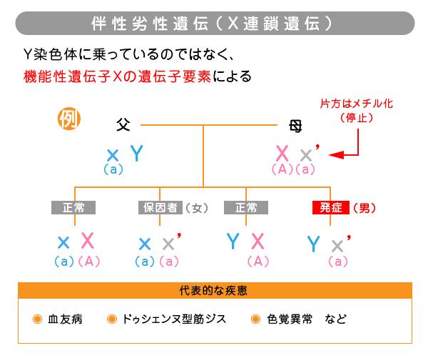 伴性劣性遺伝(X連鎖遺伝)